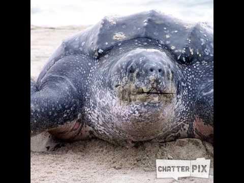 Leatherback sea turtle song