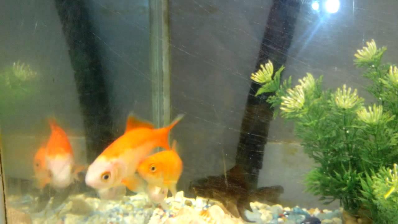 Maschio pesce rosso rincorre la femmina youtube for Pesce rosso razza