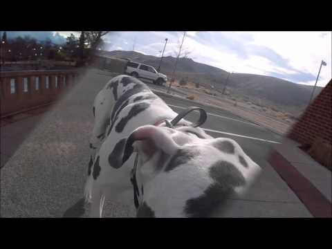 """1 Year Old Great Dane """"Drake"""" Shows Off Obedience; Off Leash K9 Training Reno"""