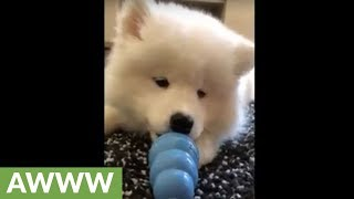 Samoyed puppy plays with new toy
