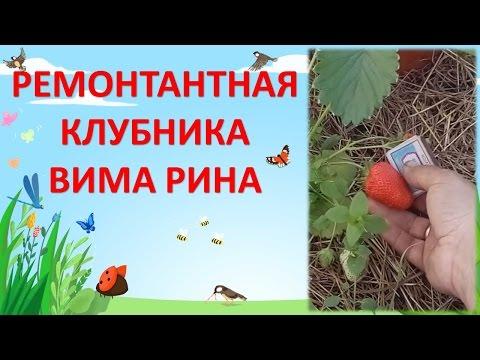Садовая земляника Вима Рина в теплице и в саду / Ремонтантная клубника Вима Рина