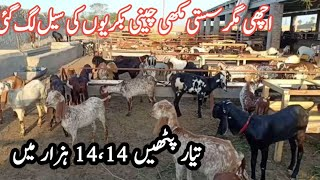 140 Maki cheeni Goats for sale…
