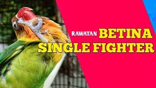 Download lagu Rawatan betina single Fighter agar GACOR & STABIL !!