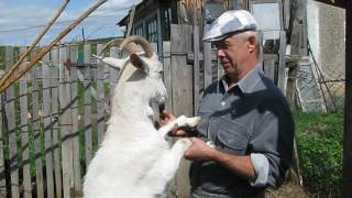 Белая коза