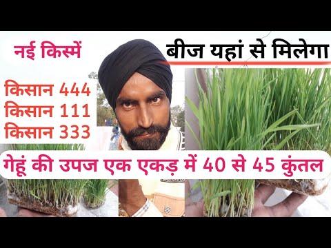 गेहूं बीज)Wheat seed of kisan 444, Kisan333- Agri Technology India Private Ltd
