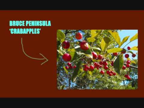 Bruce Peninsula - Crabapples (are for loving...)
