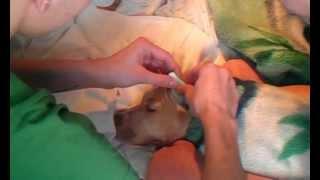 Обработка купированных ушей питбуля(, 2012-04-01T13:40:21.000Z)