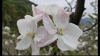 하얀꽃송이 눈꽃송이 사과꽃송이 White flower …