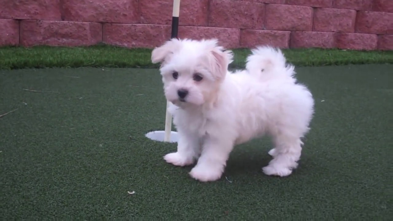 Puppy Avenue - Puppies For Sale In California, San Diego