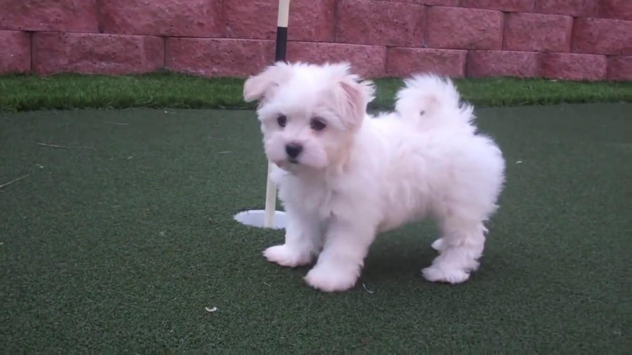 Tiffany - MaltiPoo Puppy for Sale in San Diego, CA! www PuppyAvenue com