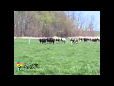 Cows Running in the Pasture Video - Minten Family