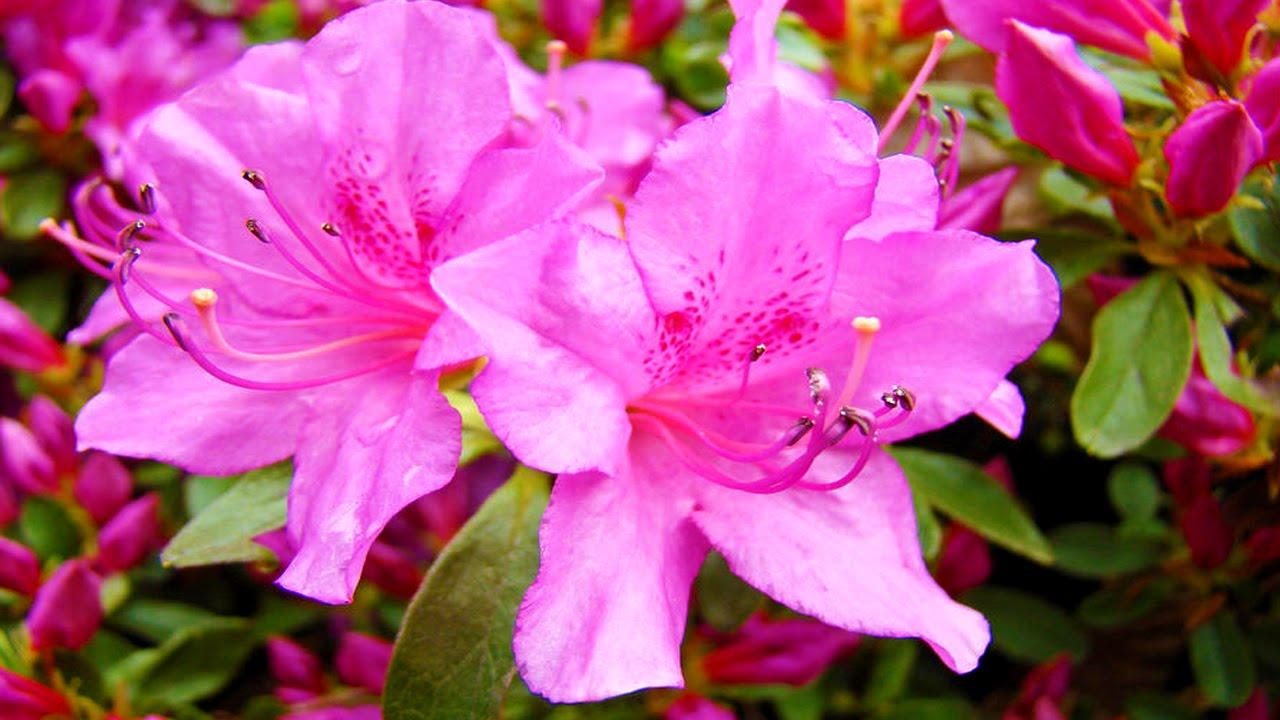 Plant Pink Formosa Azalea Shrub Spring Flowering Shrubs