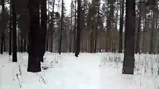 Собаки в лесу…