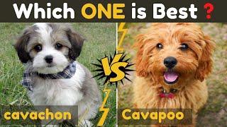 Cavachon vs Cavapoo (cavoodle)  Comparison Between Two cavalier king charles spaniel Dog Mix