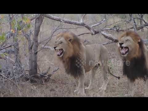 Lions Laughing at Tourist