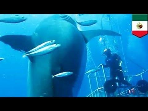 Новый мегалодон? Опубликовано видео самой большой в мире акулы