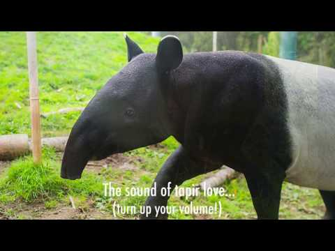 What tapir love sounds like...
