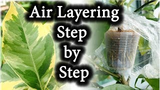 Air Layering Citrus Plants. CLONE Your Favorite Plants & Trees | BEFORE & AFTER
