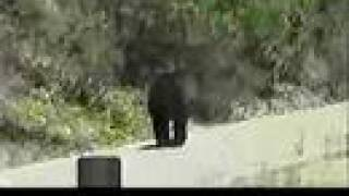 Bear on the road in the Siskiyou Mountains
