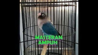 Lovebird Mangsi Fighter Poll Ngecik Ngekek Panjang Cocok Untuk Masteran!!