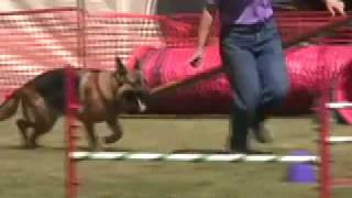 German Shepherd Dog At Nadac Agility Trial, July 2009