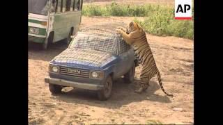 China - Siberian tigers