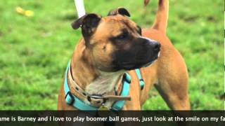Staffie Rescue Song