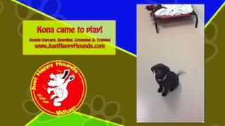 Kona The Dog At Just Happy Hounds Dog Daycare Birmingham