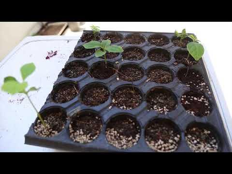 Tohumdan Bonsai yetiştirmek (  BÖLÜM 2 )