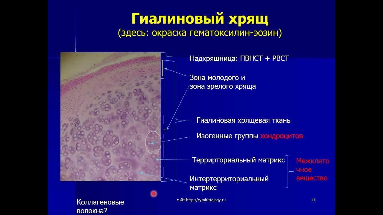 Реферат на тему хрящевые ткани 2578