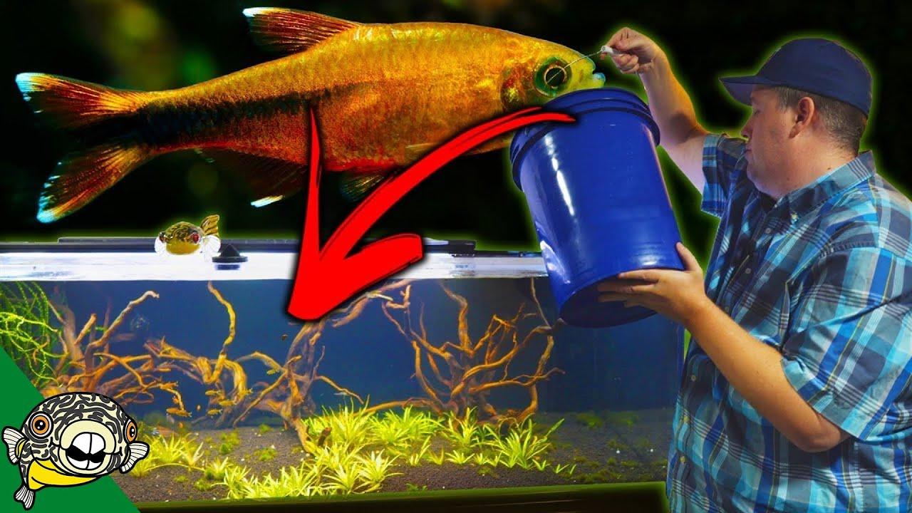 Adding 100 Silvertip Tetras To The 230 Gallon Aquarium Schooling