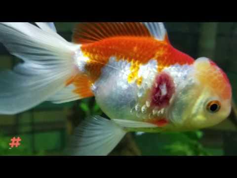 Common Goldfish Diseases: Are Your Goldfish Sick ? Part I