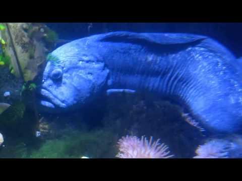 Gestreifter Seewolf (catfish)