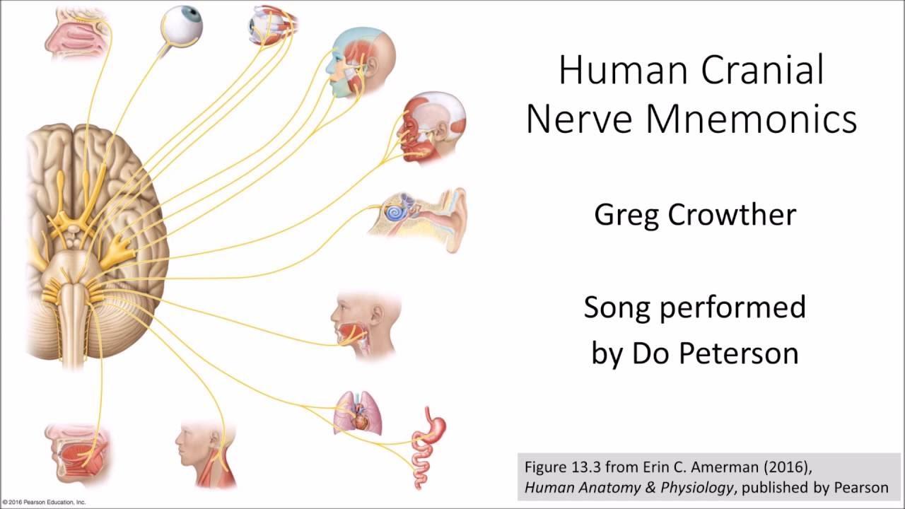 Human Cranial Nerve Mnemonics - YouTube