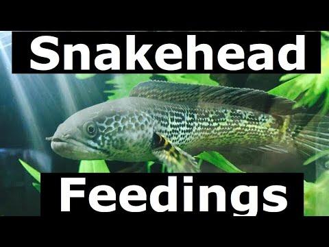 Snakehead Aquarium Feeding Attack Jumping