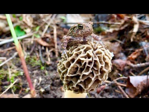 Morel Mushroom Hunters Guide ~ Secrets Revealed ! ~ Minnesota Mushrooms