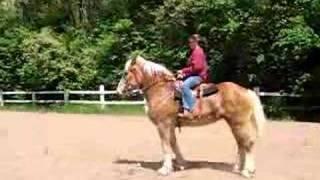 Belgian Riding Horse