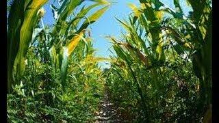 Hungary Destroys ALL GMO Corn Fields