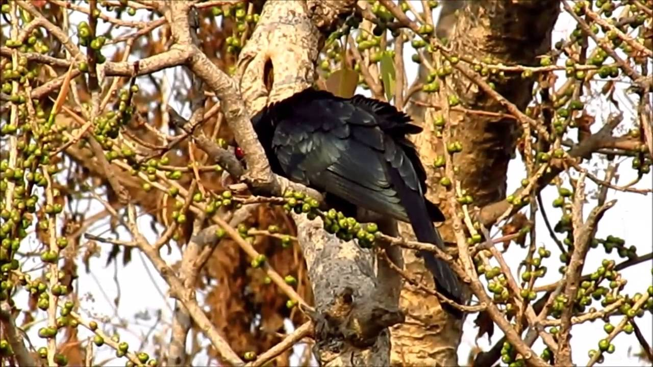 Amazing Nature Hd Video Cuckoo Bird Nature S Beauty At Kolkata