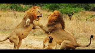 Lion Gangland part 2  Full HD video . Nat Geo Wild . Wild Nature channel