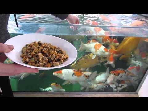 Koi Food Treats What Treats I Feed My Koi