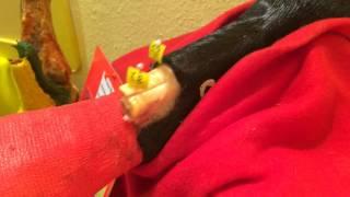 Анатомия лошади. Глубокий и поверхностный сгибатель пальца.