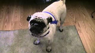 Cutest Dog Bark From A Pug