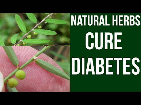 Natural Herbs Cure Diabetes | Phyllanthus virgatus Health Benefits
