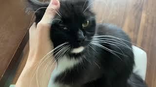 寝起きで機嫌悪い娘にタジタジの猫 ノルウェージャンフォレストキャットA cat who runs away to a daughter who is in a bad mood. Norwegian