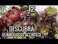 Download Mp3 SUCULENTAS - Período de Dormência