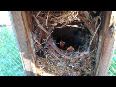 Baby birds in my backyard bird house.