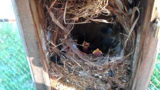 Baby birds in my backyard bird house.