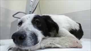 Помощь Стрелке   собаке без задних ног