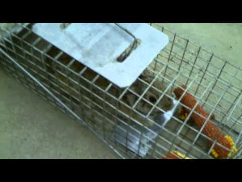 Rabbit in my live trap!